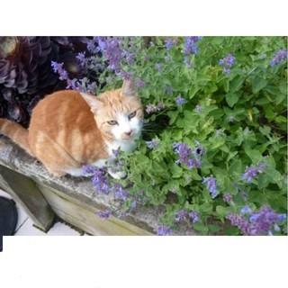 Gói 50 Hạt Giống Cỏ Mèo Bạc Hà Mèo Catnip KHUYẾN MẠI SHOP MỚI HẠ GIÁ SỈ thumbnail