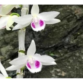 COMBO 3 CẤY lan phi điệp 5 cánh trắng Bảo Duy cây giống 5 -7cm
