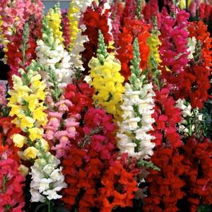 Hạt giống hoa mõm sói cao mix - 3505870 , 773397231 , 322_773397231 , 35000 , Hat-giong-hoa-mom-soi-cao-mix-322_773397231 , shopee.vn , Hạt giống hoa mõm sói cao mix