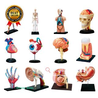 Puzzle Assembling Toys Human Body Organ Anatomical Model Medical Teaching Model