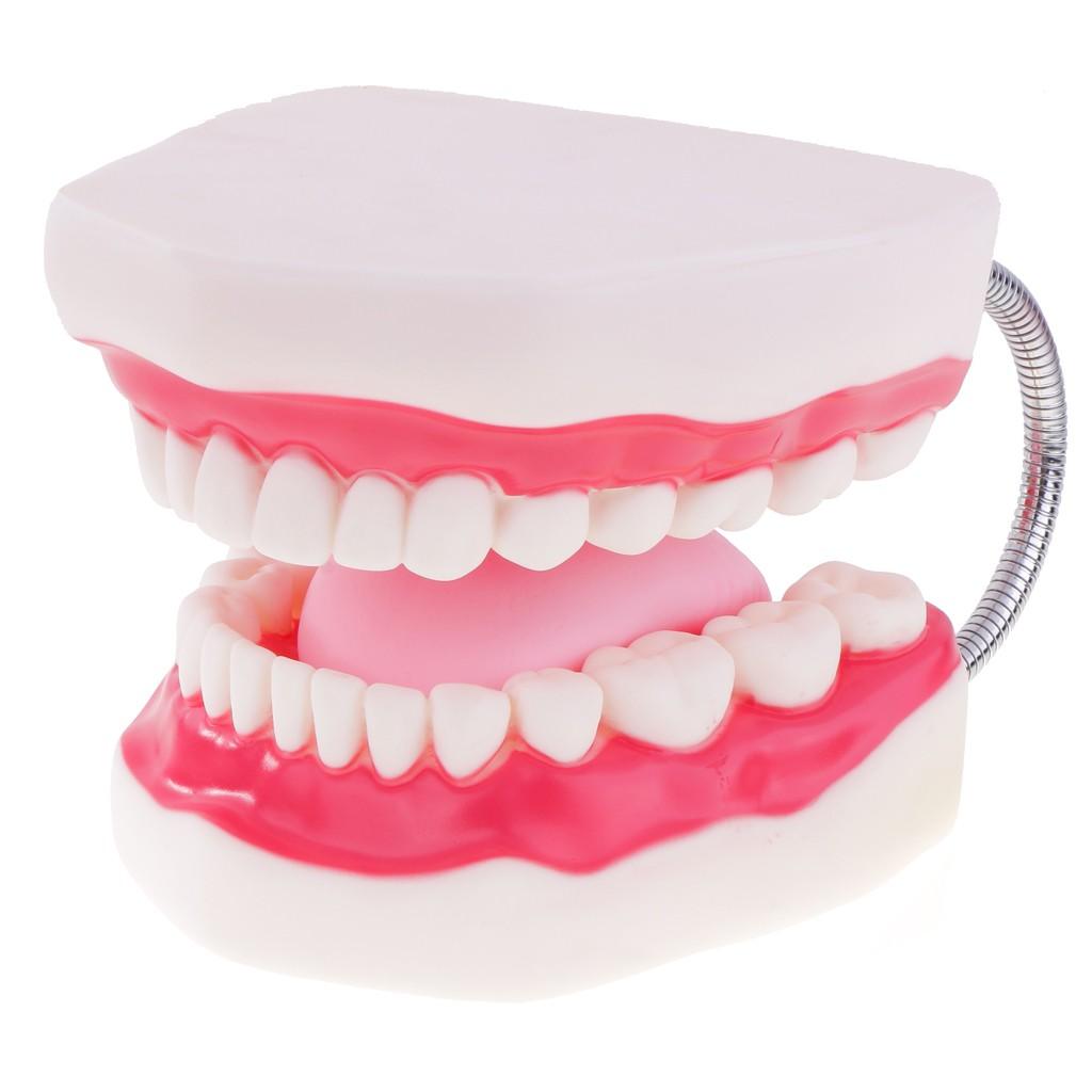 Human Mouth Dental Teeth Tongue Model School Teaching Tools Magnification 6x