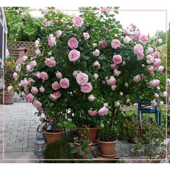 COMBO 100 hạt hoa hồng leo pháp nhiều màu tự chọn