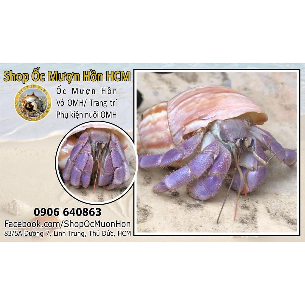 Lila Ốc mượn hồn chất lượng cao - Lila Harmit crab Indo chính hãng
