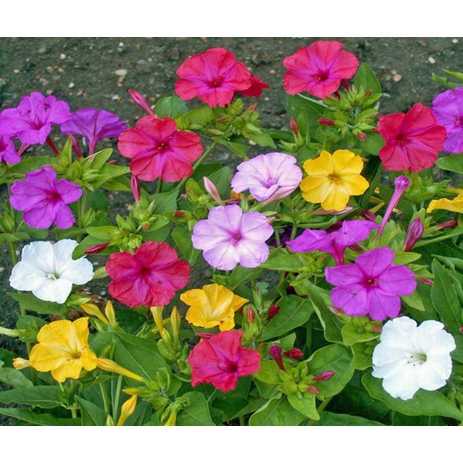 SET 02 Gói Hạt giống hoa Bông Phấn Nhiều màu và 1 phân bón cho cây