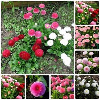 100 hạt giống hoa cúc anh nhiều màu thumbnail