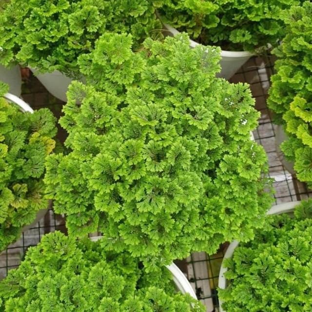 Tùng Rêu trải nền