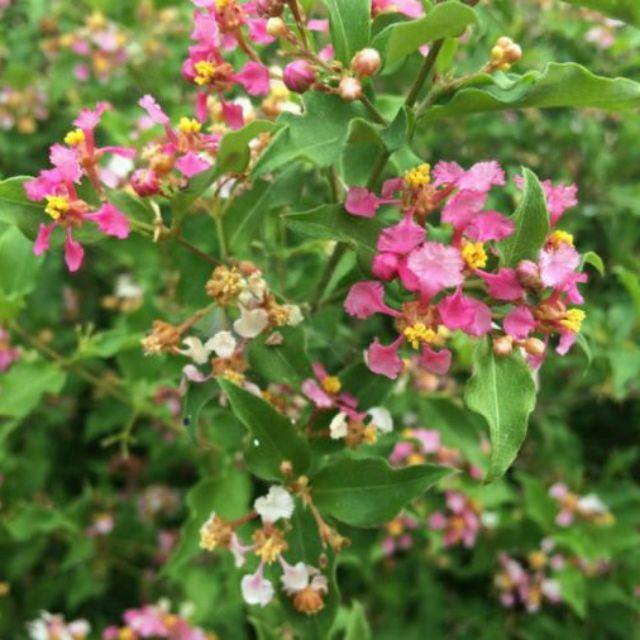 Chậu cây hồng ngọc mai mini thơm