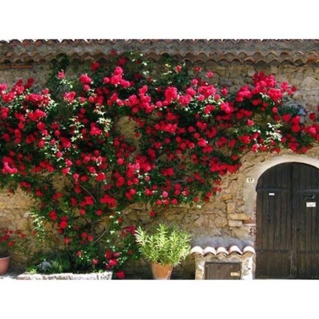 Hạt giống hoa Hồng leo Pháp Nhiều màu TẶNG 1 phân bón 20H - HẠT GIỐNG HOA HỒNG LEO PHÁP