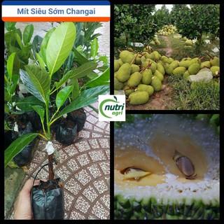 Cây Giống Mít Thái Siêu Sớm Changai Siêu Ngọt - Cây Giống Mít Thái Sai Quả Cây Bền Dễ Trồng thumbnail