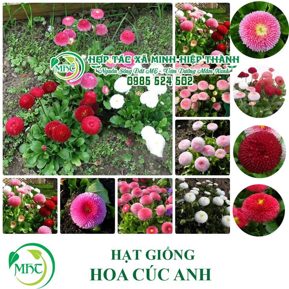 Hạt giống hoa cúc anh - 2999943 , 987929911 , 322_987929911 , 30000 , Hat-giong-hoa-cuc-anh-322_987929911 , shopee.vn , Hạt giống hoa cúc anh