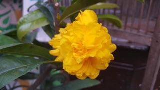Hoa mai cúc vạn thọ(30-45 cánh)_cây ghép chuẩn