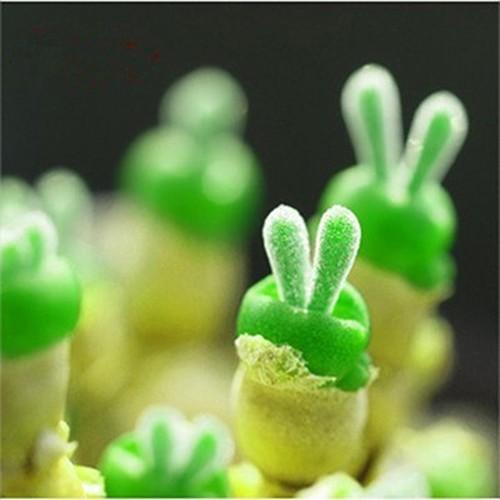 Combo Hạt giống Cỏ Tai Thỏ + Hạt giống Cây đuôi thỏ