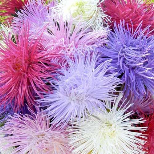 Hạt giống hoa Cúc Tổ Chim mix