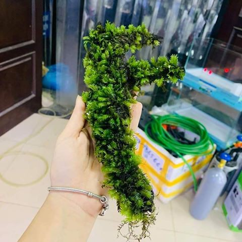 Khúc Lũa Gắn Rêu Phượng Vĩ