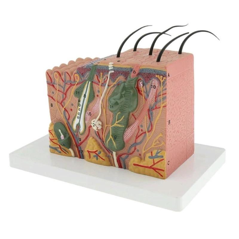 Mô hình giải phẫu cấu tạo cấu trúc da