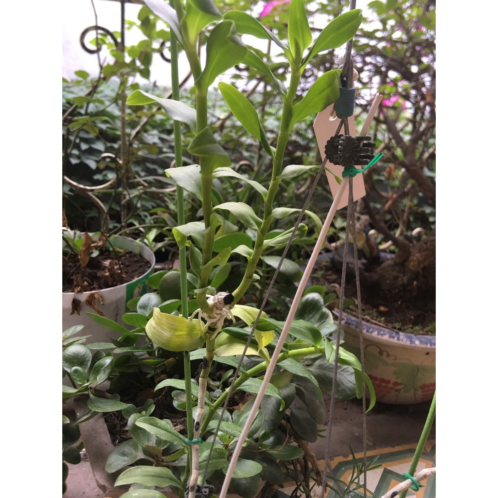 Phi điệp 5 cánh trắng Blue hàng nhân kie bảo hành mặt hoa