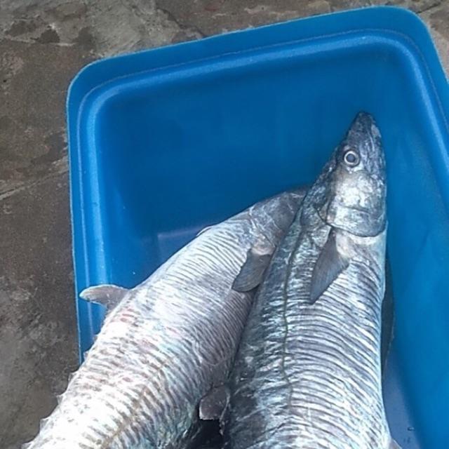 Cá thu, cá bốp, cá gáy, cá ngừ, cá bã trầu ( cá thóc), cá hường( cá đổng), cá tắc kè và các loại cá tươi khác được câu