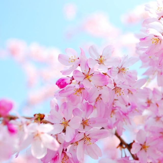 Hương liệu Cherry Blossom (Hoa Anh Đào)