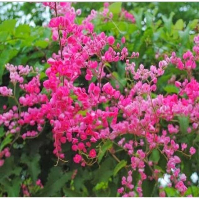 [HOA LEO GIÀN] Cây hoa TIGON trồng chậu cao 75cm, hoa mọc từng chùm màu hồng tuyệt đẹp, cây trồng ban công tường rào