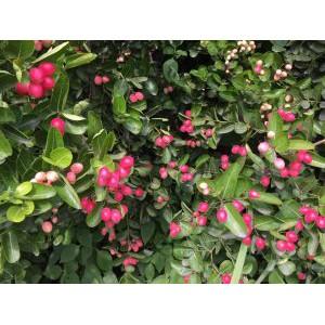 Cây siro siêu trái_cây giống 30-50cm.