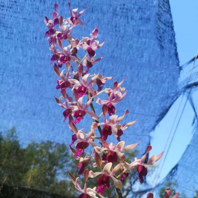 Hoa lan nắng Sing combo 5 cây giống