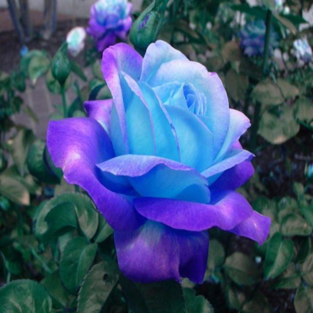hạt giống hoa hồng leo xanh 10 hạt