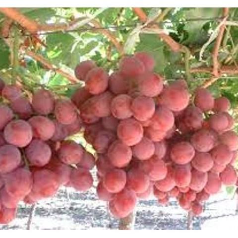 Hạt giống nho pháp quả ngon ngọt năng suất ( gói 10 hạt)