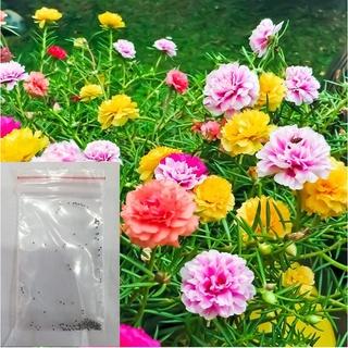 DEAL SHOCK 1K – Hạt giống Hoa Mười Giờ kép – 50 Hạt – CAM KẾT CHẮC CHẮN NẢY MẦM – túi zip trồng thử