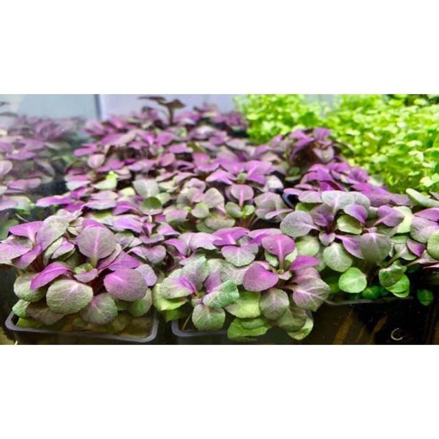 HỒNG BA TIÊU - CÂY CẮT CẮM HỒ THUỶ SINH   Shopee Việt Nam