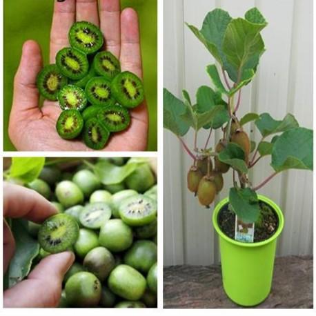 Hạt giống Kiwi lùn - Kiwi bonsai F1
