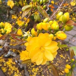 Hoa mai Huỳnh Tỷ 24 cánh_ cây giống