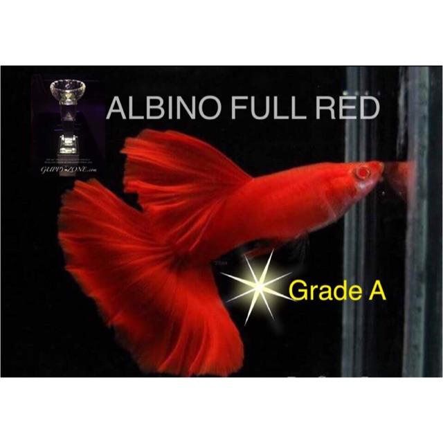 ปลาหางนกยูง Grade A Albino Full Red 1 คู่ ตัวผู้ 1 ตัว ตัวเมีย 1 ตัว