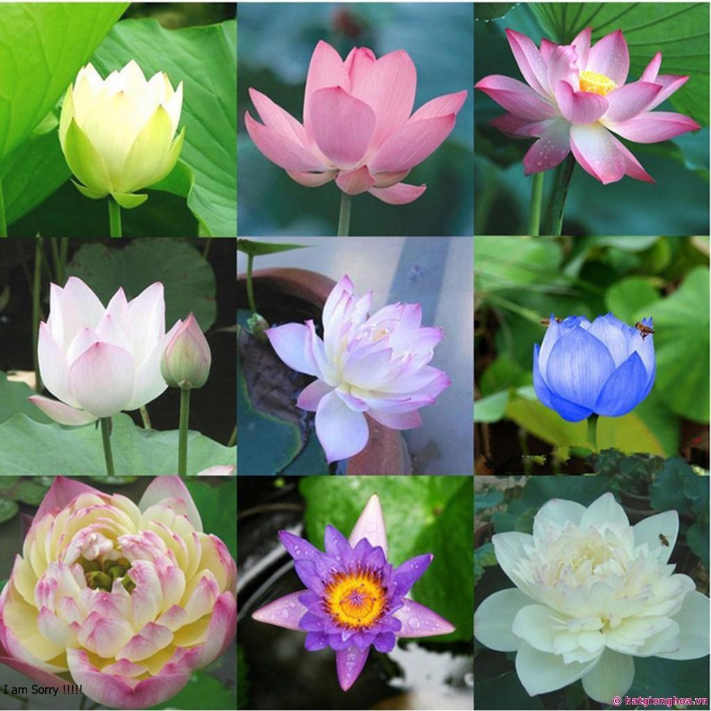 Hạt giống hoa Sen mini Nhật - 1 hạt - Giao ngẫu nhiên màu