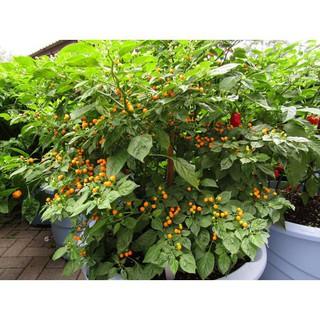 Gói 03 Hạt Giống Ớt Mắc Nhất Thế Giới Aji Charapita 570tr kg Loại Ớt Ngon Và Đắt Nhất Thế Giới luckyseed hạt siêu rẻ thumbnail