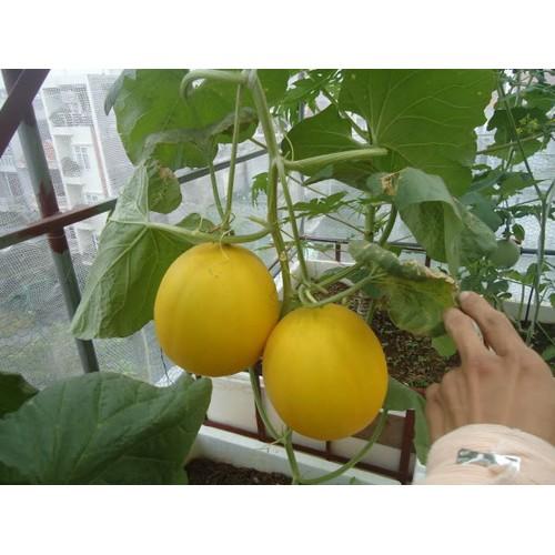 Hạt giống dâu tây đỏ hạt giống hoa cẩm tú cầu hạt giống hoa tự chọn hung96vncom0