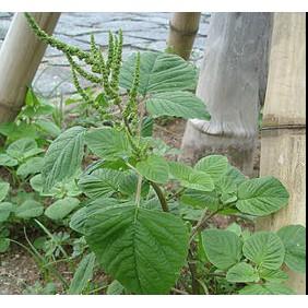 10g Hạt Giống Rau Dền Cơm (Amaranthus viridis) - 3460586 , 832070713 , 322_832070713 , 10000 , 10g-Hat-Giong-Rau-Den-Com-Amaranthus-viridis-322_832070713 , shopee.vn , 10g Hạt Giống Rau Dền Cơm (Amaranthus viridis)