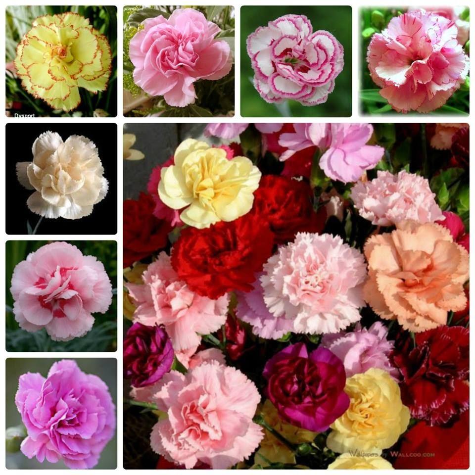 Hạt giống hoa đẹp và các loại tự chọn biện thị thiếp