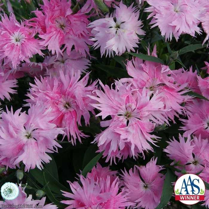 5h Hạt Giống Hoa Cẩm Chướng - Siêu Hồng (Dianthus barbatus interspecific)