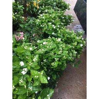 [RẺ VÔ ĐỊCH] CÂY HOA NHÀI TA ( hoa lài kép )cây cao 30-40cm(ảnh,video thật) hoa nở quanh năm thơm mát thumbnail
