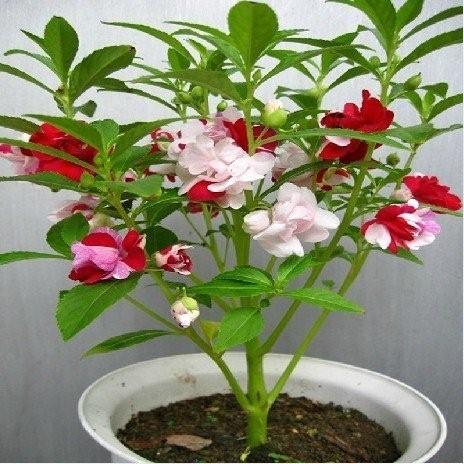 SET 02 gói hạt giống hoa bóng nươc ( hoa móng tay kép nhiều màu)