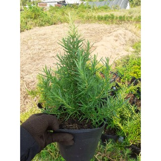 cây giống hương thảo(cây to giống hình )Tặng kèm phân bón cho cây