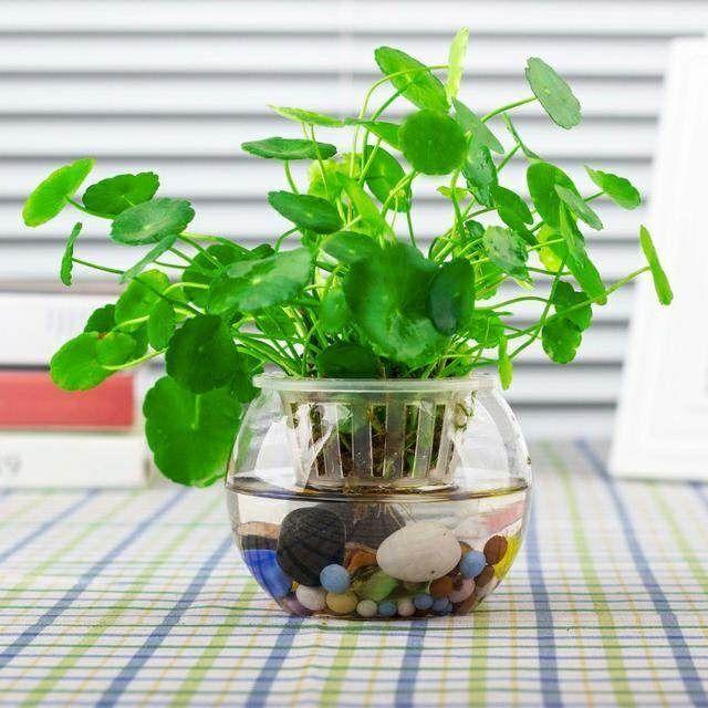 40 Hạt giống cỏ may mắn/ hạt giống lá tiền su có thể trồng trong nước bể nuôi cá