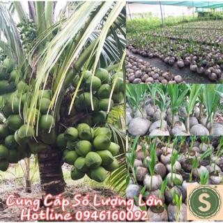 Cây Giống Dừa Dứa Siêu Thơm Nguyên Chủng ( CÓ VƯỜN ĐỂ THAM QUAN)