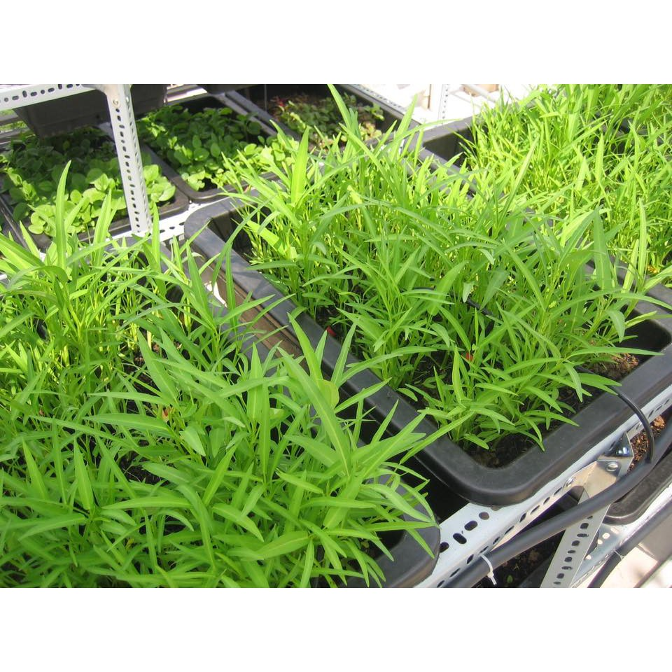 Hạt giống Rau Muống Lá Tre dễ trồng