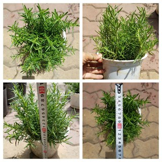 [ SIÊU RẺ] Cây hương thảo Rosemary đuổi muỗi, côn trùng