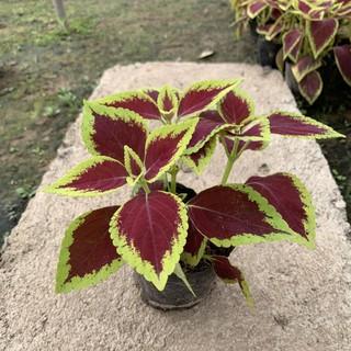 Cây lá gấm – cây tía tô cảnh cao 8cm, màu sắc rực rỡ rất bắt mắt, thích hợp trang trí thảm nền công trình và sân vườn