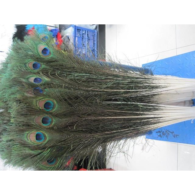 Combo 10 lông công phong thủy 80-90cm