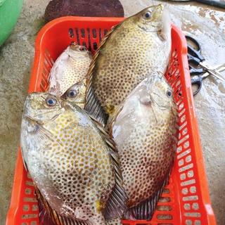 Cá Dìa làm sạch cấp đông (2-3c/kg) – 0.5kg