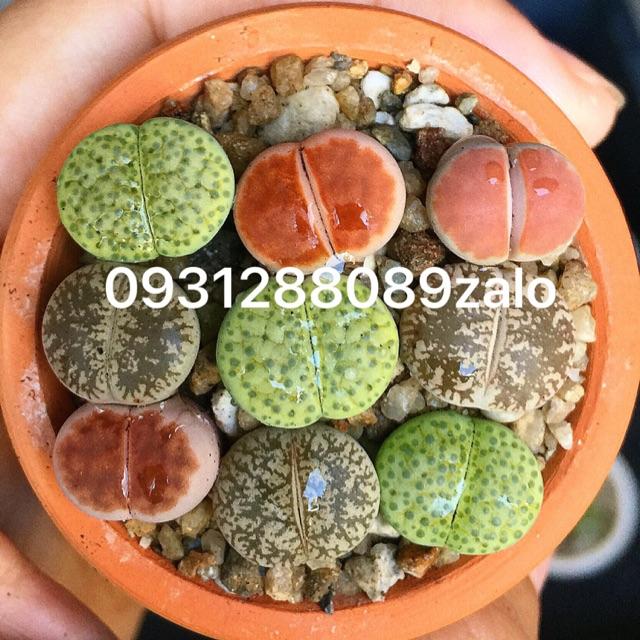 Combo cây thạch lan , mông, lithop