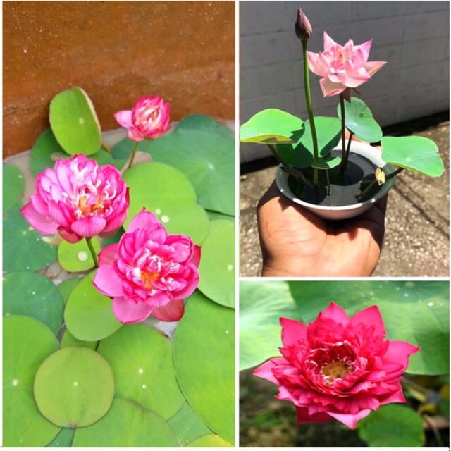 Hạt giống Hoa sen mini Nhật nhiều màu (100% Hạt chắc)